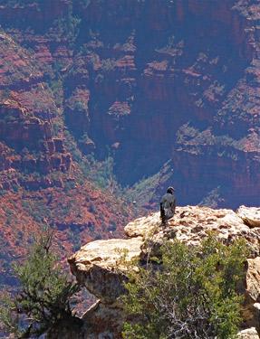 Condor at the North Rim, Bright Angel Point