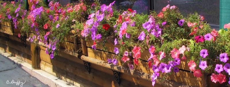 Petunias at Ruby's Inn