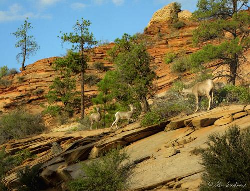Big Horn Sheep at Zion National Park