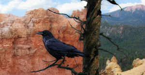Raven at Bryce
