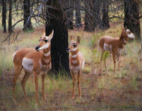 Pronghorn Antelope at Bryce