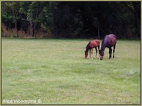 two Amish horses