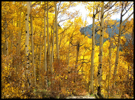 yellow aspen were everywhere