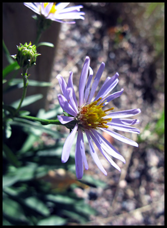 a wild aster seemed right at home