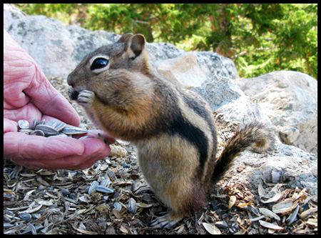 The Chipmunks ate right out of our hands