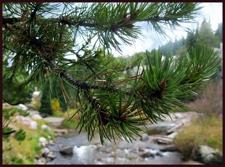 A view through a pine tree