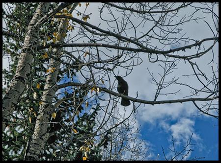 Blackbird in an aspen