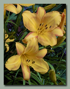 Click here for Daylilies that bloom early