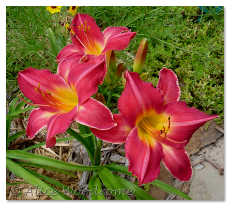 Chicago Beauty on Garden Forum  Daylily Parade  Warning  Way Too Long
