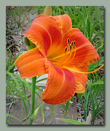 Click here for Apricot to Orange Daylilies