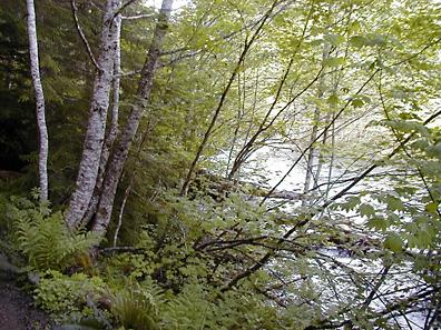 Forest in Rainier National Park