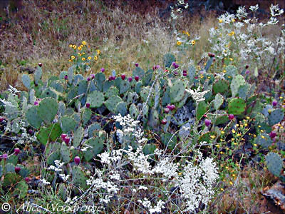 I loved the pricky pear cacti and other native plants -- click to see larger version