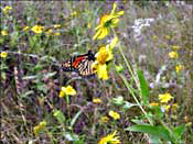 Butterfly and flowers at Enchanted Rock -- click to see larger version