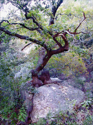 This tree must have began as a seedling in the crack of a rock -- not a promising future. Yet, it somehow found enough moisture and nutrients to give it time to stretch a root out over the rock and into the nurturing earth. - Click for larger view