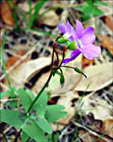 Oxalis -- click to see larger version