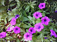 Laura Bush Petunias at WildSeed Farm -- click to view picture large