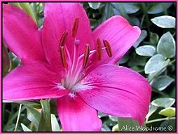 Amarone Asiatic Lily