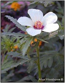 Annual Hibiscus