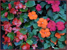 Begonia and Impatiens