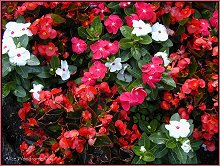 Begonias and Vincas