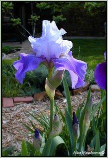 Bluish Iris