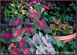 Caladiums, Impatiens, and begonias