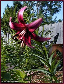 Chippendale Asiatic Lily