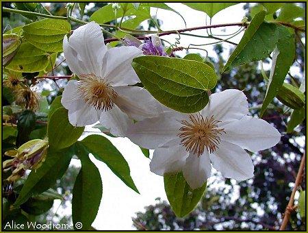 White Clamatis