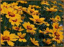 Close up of Coreopsis
