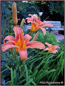 Ditch Day Lily