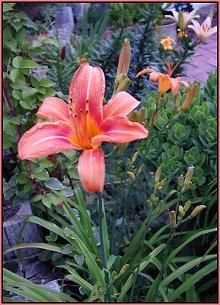 ditch daylily