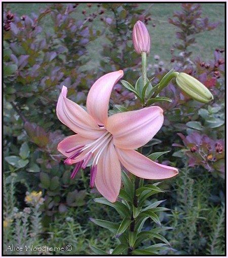 Fairest Asiatic Lily