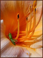 Grasshopper and Lily