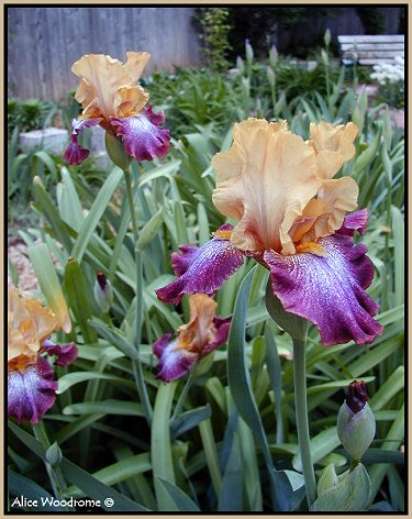 my first Iris of the season