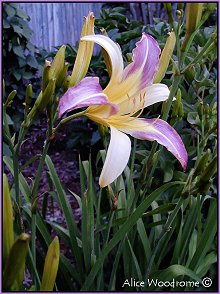 Purple and White Spider Daylily