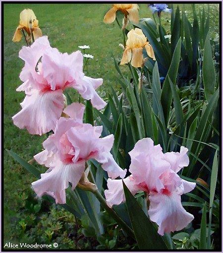 Pink Ruffled Irises