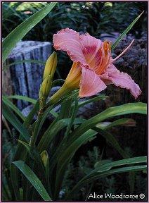 Pink Plum Daylily