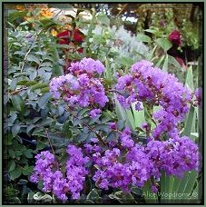 Purple Crepe Myrtle