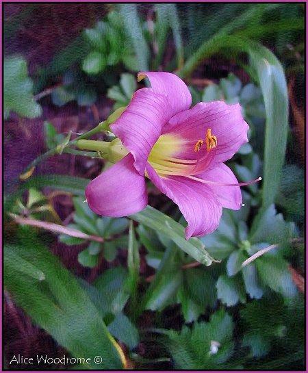 Purple dwarf daylily