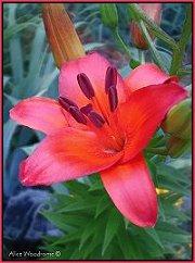 Red Orange Lily