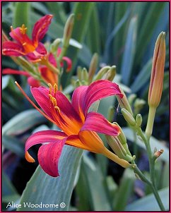 Red Orange daylily