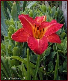 Red Orange Daylily