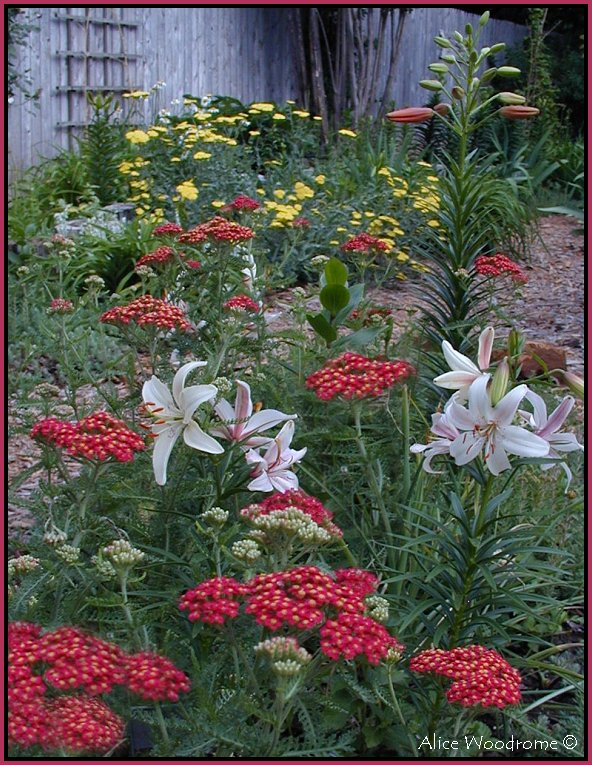 Red Yarrow and Lilies