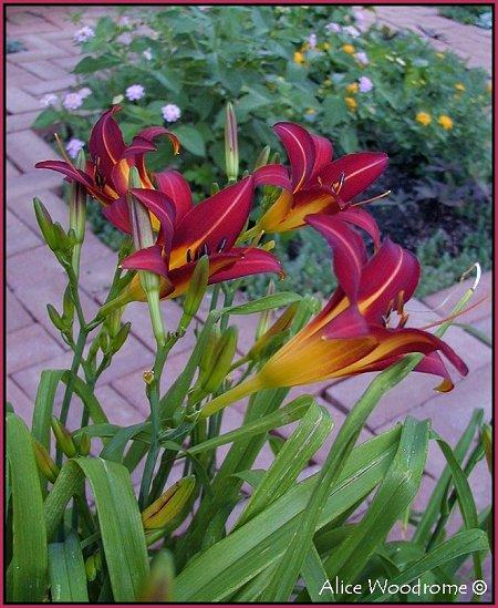 Dark Burgendy Red Daylilies
