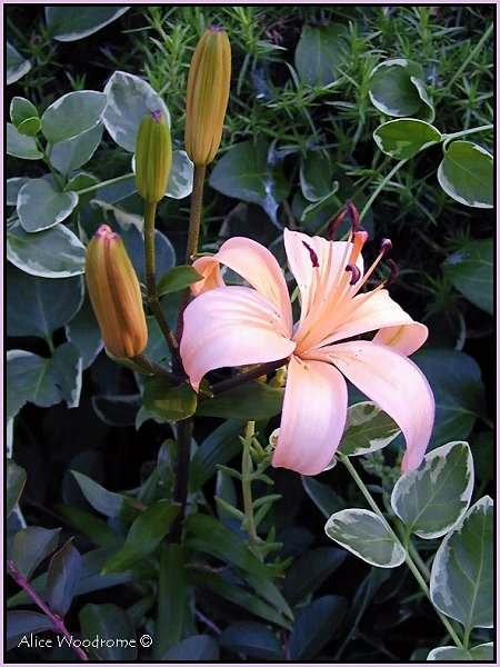 Sculptor Asiatic Lily