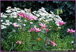 Shasta Daisies and Pink Lilies