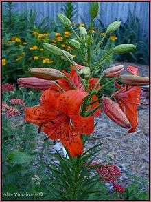 Turks Cap Lily