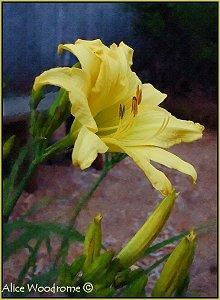 Yellow Twin Daylily