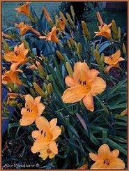 Yellow Orange Daylily
