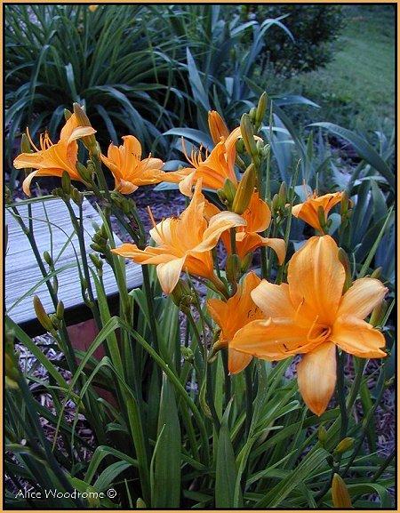 Yellow Orange Daylilies